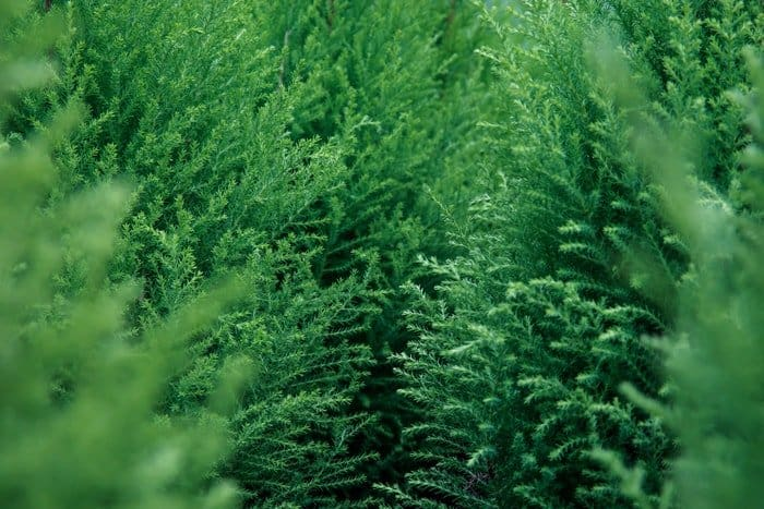 Evergreen Trees for Privacy, False Cypress