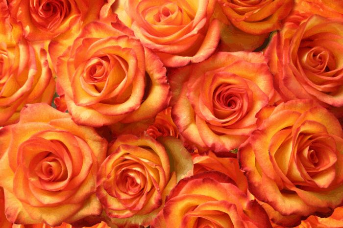 Best Time to Plant Roses: How to Care for Roses