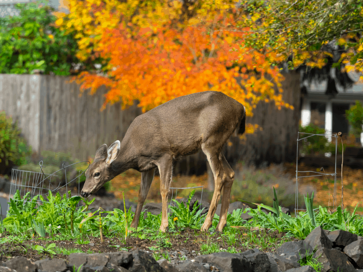 How to Keep Deer Out of Your Garden?