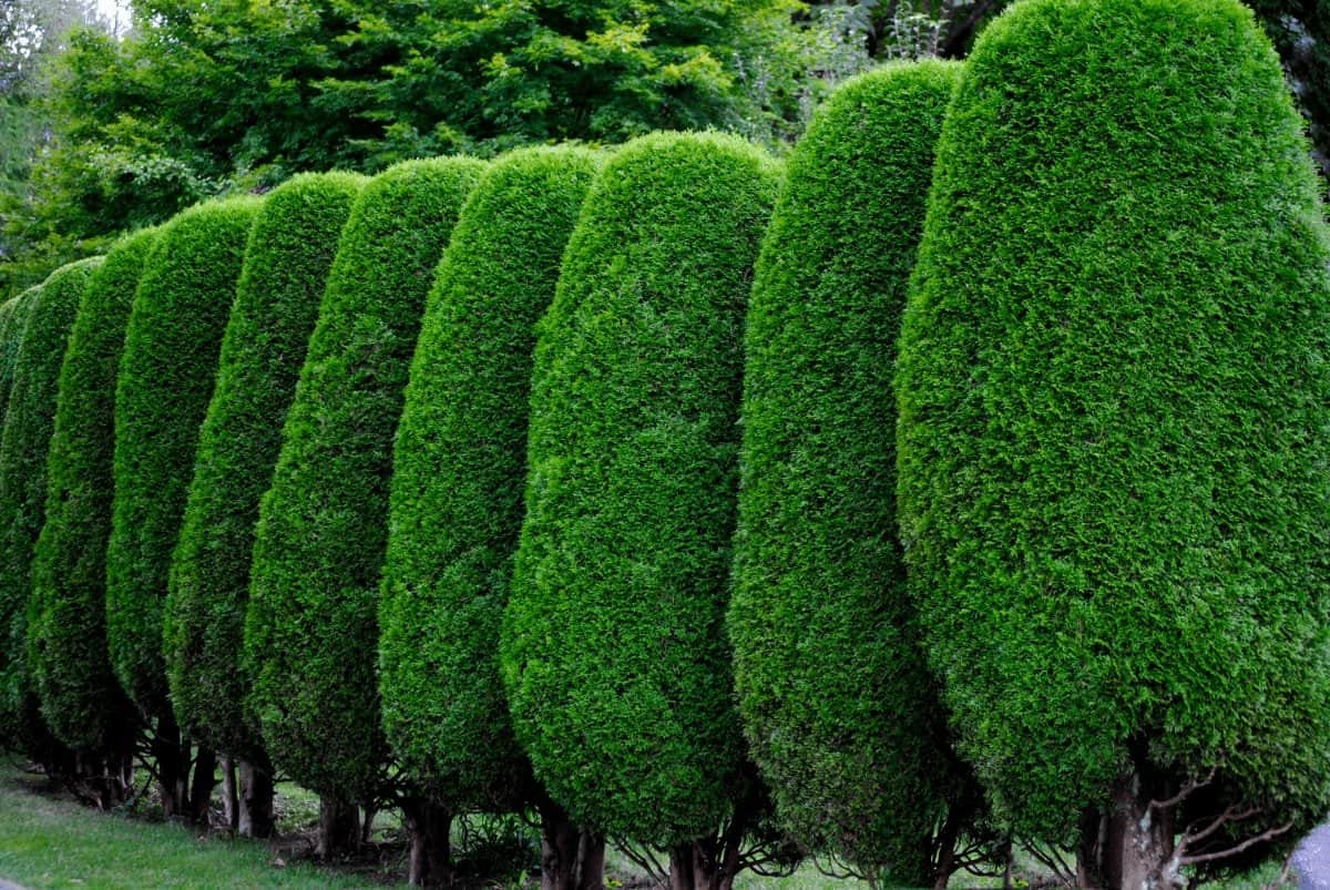 Protect Your Privacy With the Best Evergreen Trees