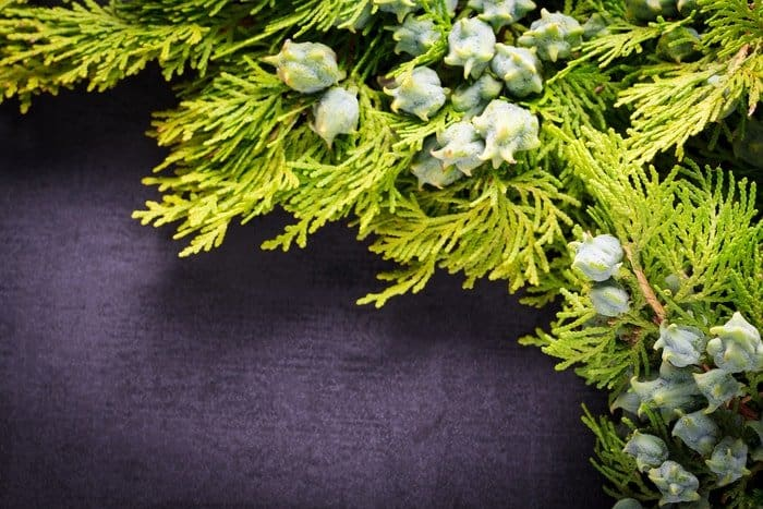 Evergreen Trees for Privacy, Upright Juniper