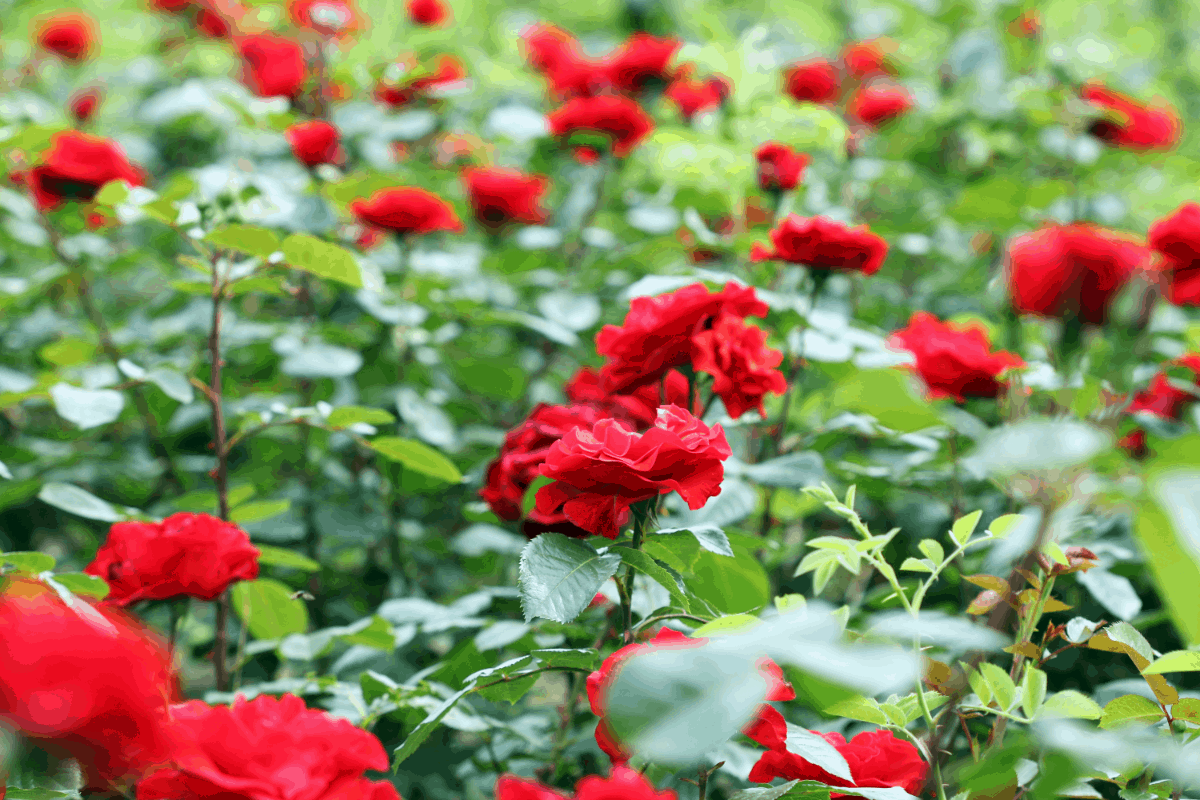 When Is the Best Time to Plant Roses