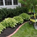 The Best Time to Transplant Hostas