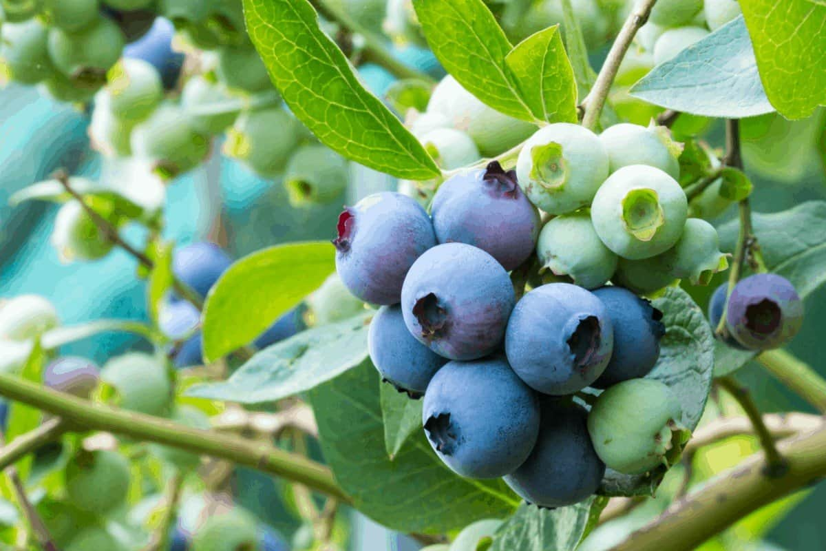 Choosing the Best Fertilizer for your Blueberries: What to Look Out For
