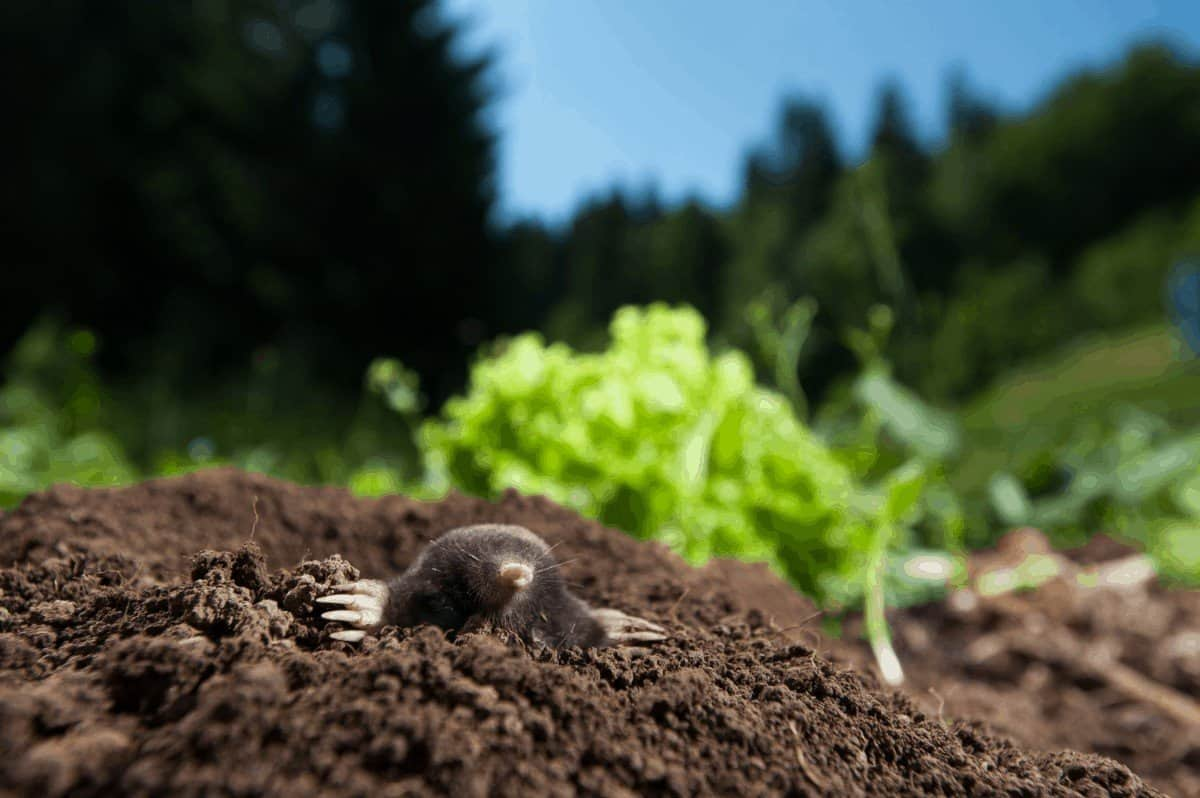 The best method to repel moles away from your garden