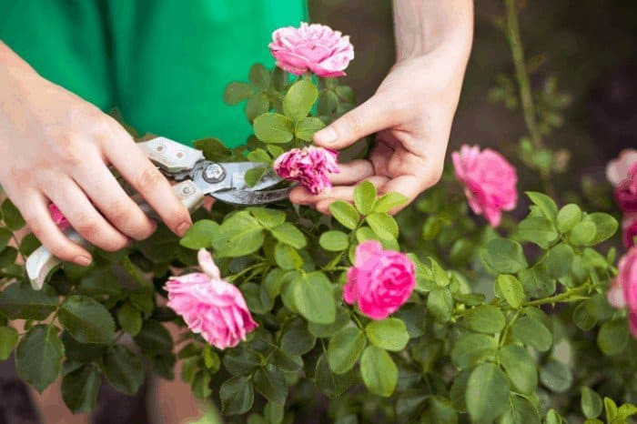 Trimming a Rose Bush in The Summer