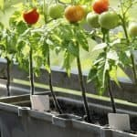 """Catch-up"" on the Best Soil for Tomatoes"