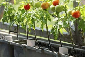Catch-Up on the Best Soil for Tomatoes