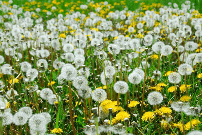 How to Get Rid of Dandelions: What Are Dandelions?