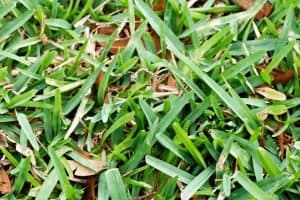 What is the Best Fertilizer for St. Augustine Grass