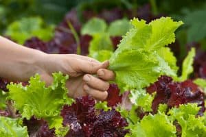 What is the Right Way to Cut Lettuce from the Garden?
