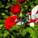 Best Time to Prune Roses