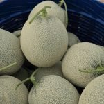 When To Pick Cantaloupes From The Vine