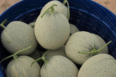When To Pick Cantaloupes From The Vine Gardening Dream Melons can be tricky to guage when it's time to pick them. when to pick cantaloupes from the vine