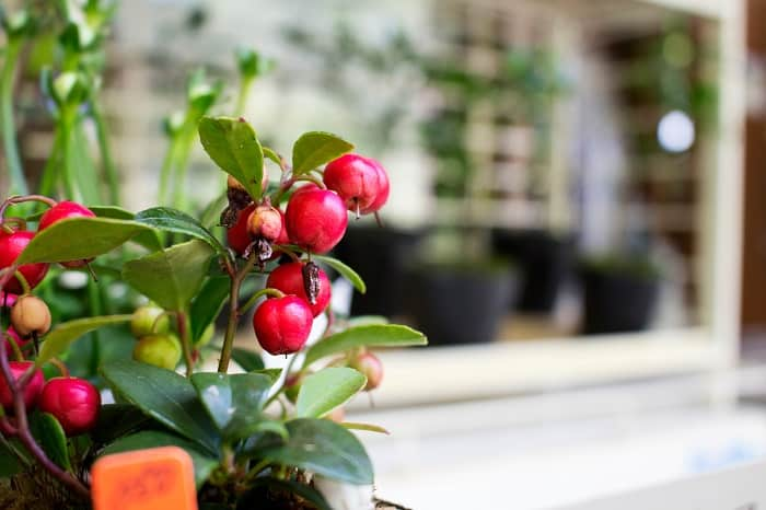 How to Plant Cherry Seeds: How To Take Care