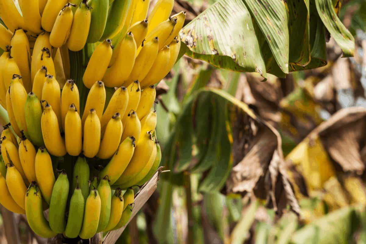 How to Grow a Banana Tree with a Store Bought Banana