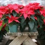 Can Poinsettias Be Left Out in The Cold?