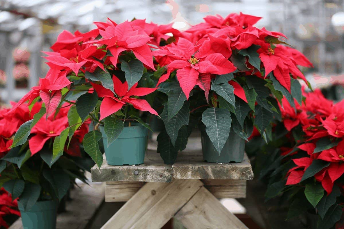 can poinsettias be outside in the cold