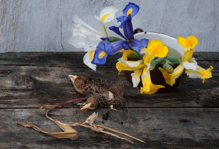 How to get Iris to Bloom Again: Why Iris Won't Bloom