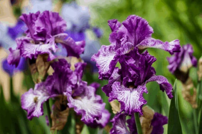 How to get Iris to Bloom Again: Get Rid of Faded Blooms