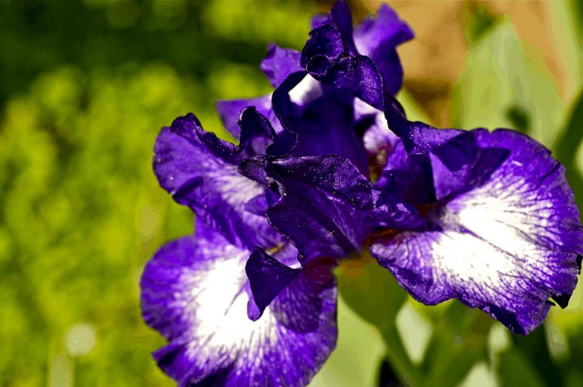 how to get iris to bloom again