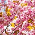 How to Grow a Cherry Tree from a Branch