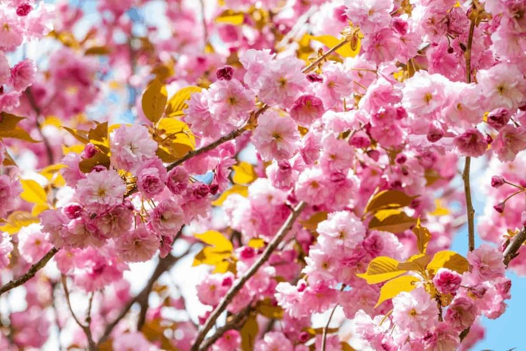 How To Grow A Cherry Tree From A Branch Gardening Dream