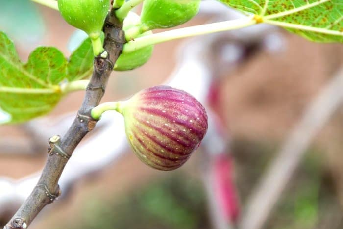 How to Grow a Fig Tree From a Cutting: Instructions