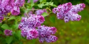How to Grow Lilac from Cuttings