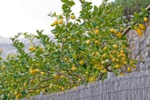 How to Trim a Lemon Tree