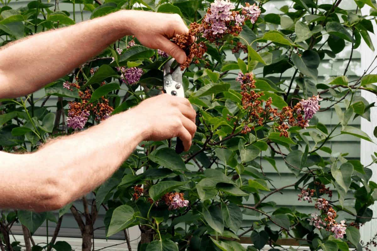 How to Trim a Lilac Bush