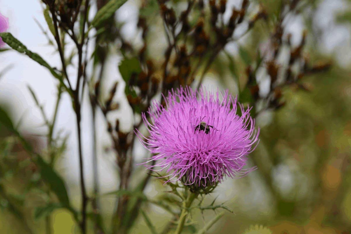 How to Get Rid of Canadian Thistle