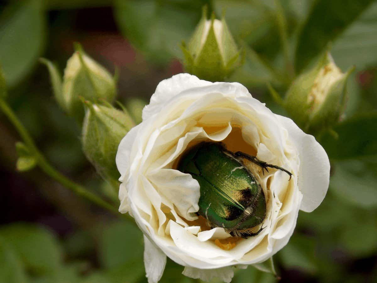 How to Get Rid of Japanese Beetles on Roses