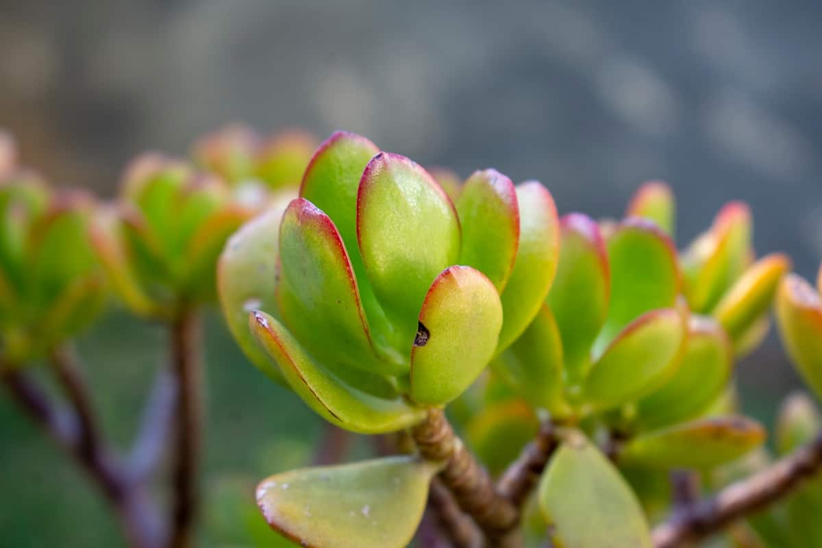 How to Root a Jade Plant
