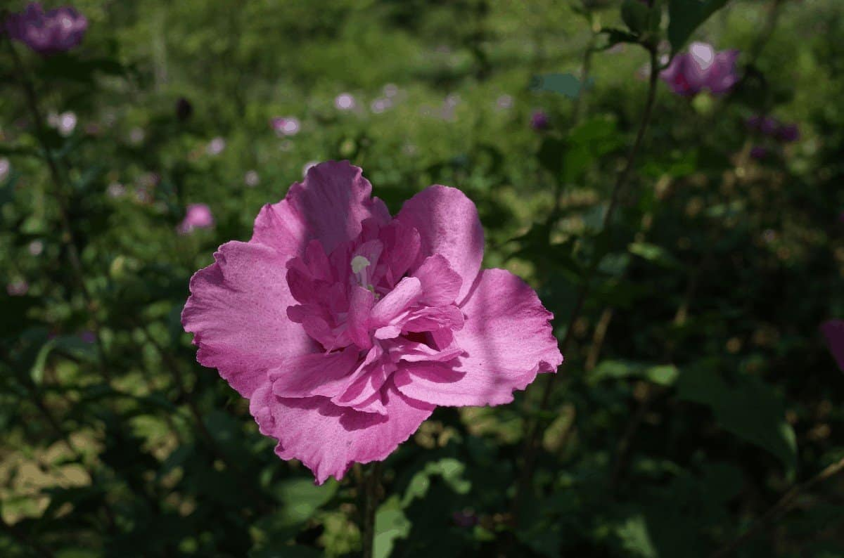 When Is the Best Time to Trim Rose of Sharon
