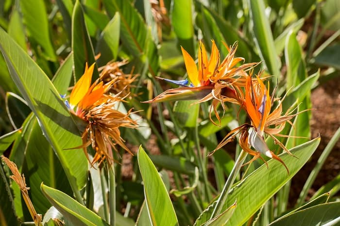 Bird of Paradise Leaves Curling:Identifying the Source of the Problem