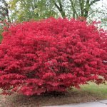 Practical Guide: How To Trim A Burning Bush