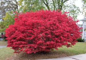 Practical Guide - How To Trim A Burning Bush