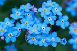 Quick Guide on How to Plant Forget-Me-Not Seeds