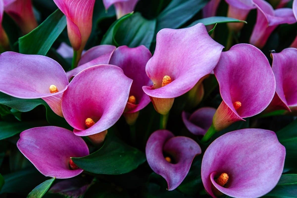 Are Calla Lilies Annuals or Perennials