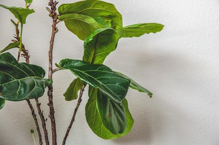 Fiddle leaf fig plant - Trim Leaves as Needed