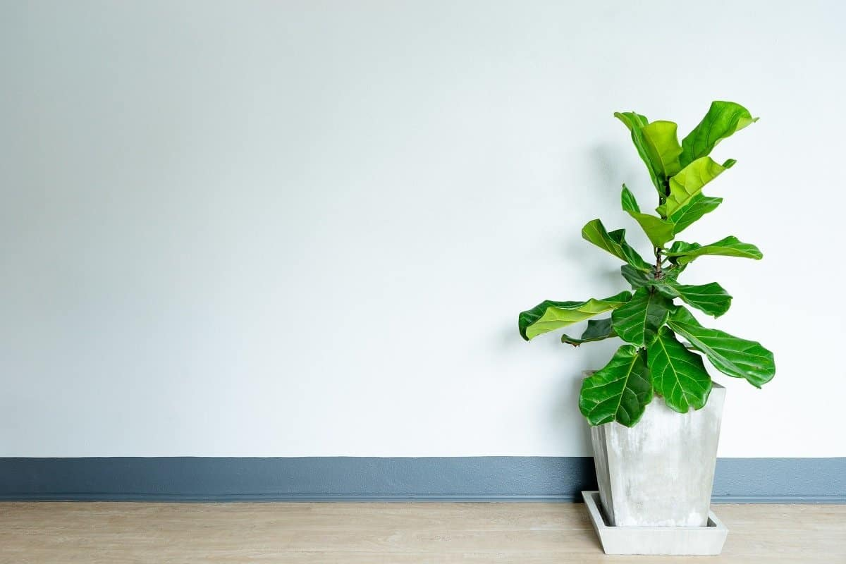 How Do You Care for a Fiddle Leaf Fig Plant Indoors