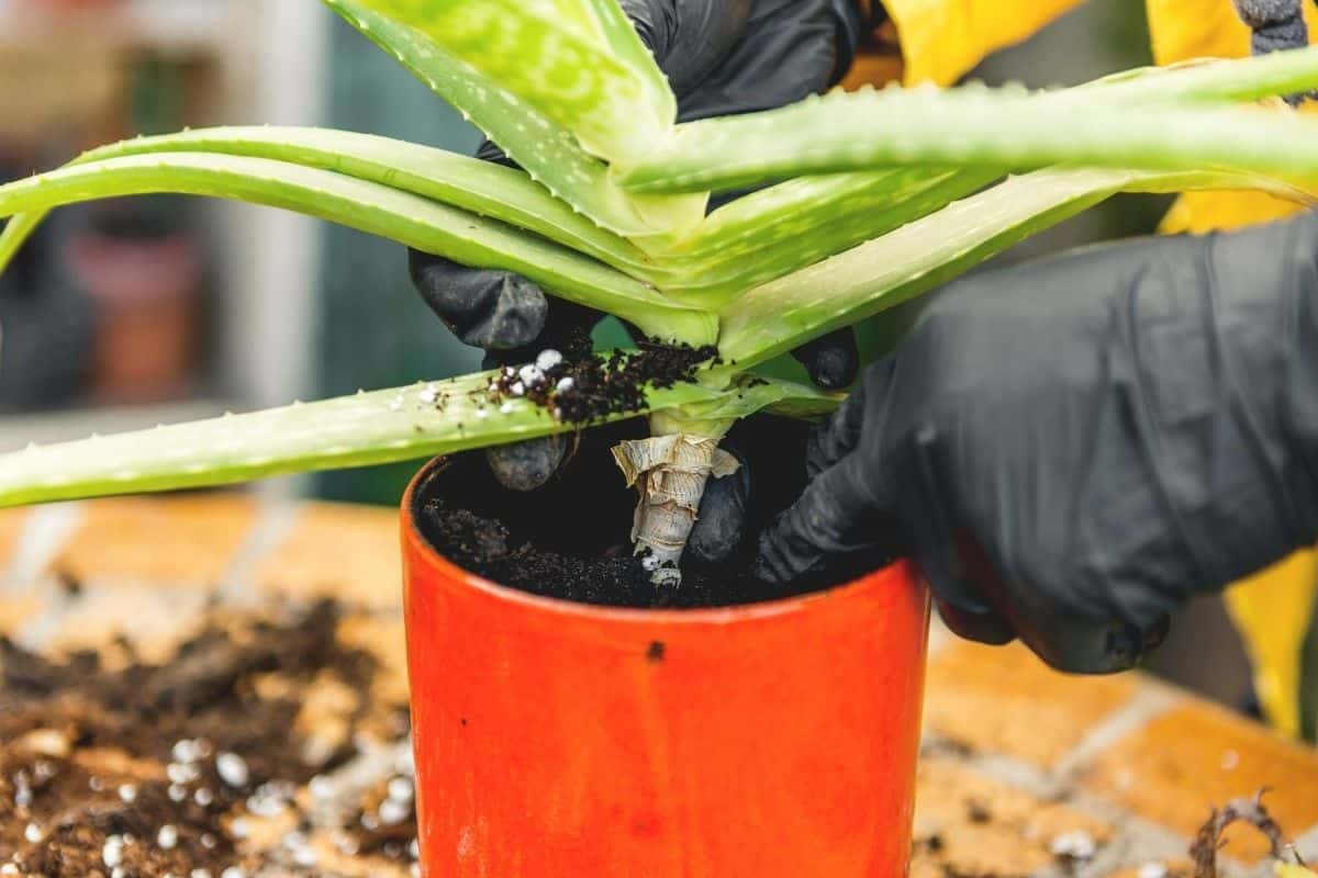 How To Root An Aloe Plant
