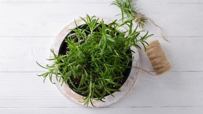 Planting Rosemary from Cutting