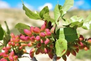 What Does a Pistachio Tree Look Like