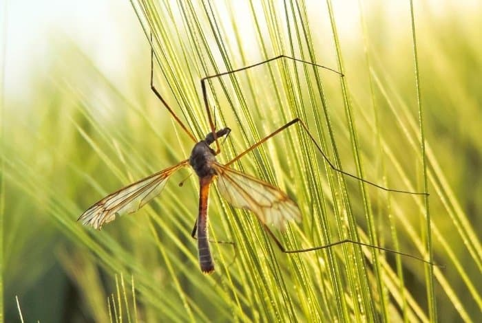 Getting Rid of Crane Flies - Naturally