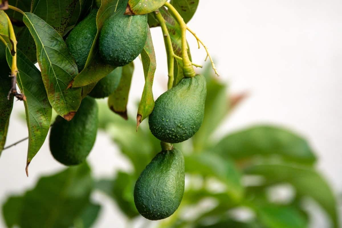 How To Grow An Avocado Tree That Bears Fruit
