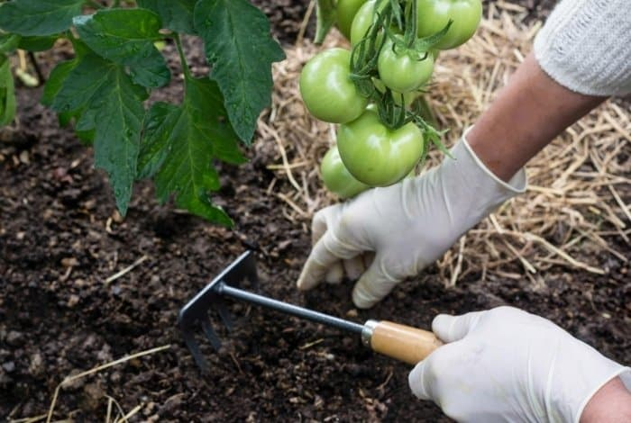 Why Should You Mulch Your Tomatoes