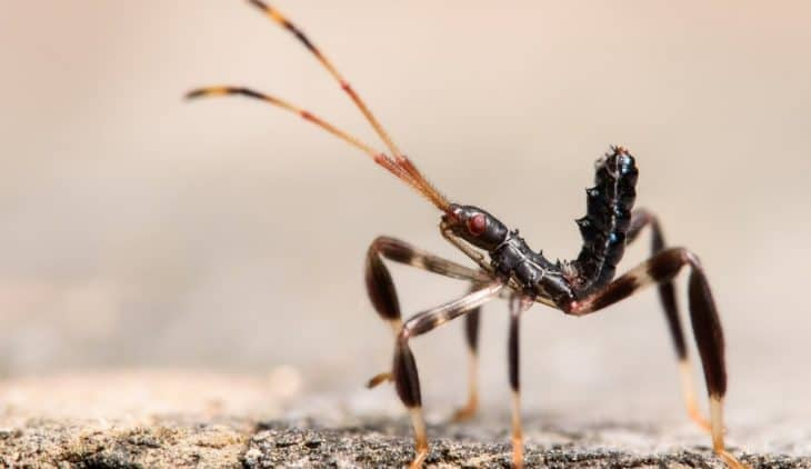 Are Leaf-Footed Bugs Harmful to Humans