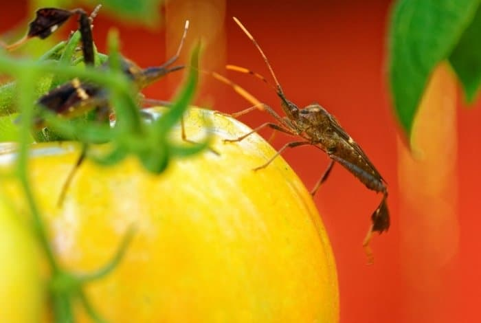 Controlling the Leaf-Footed Bug